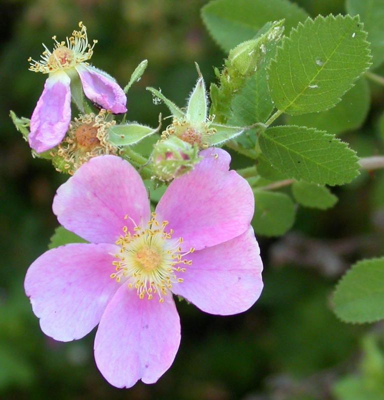 California Wild Rose Flower